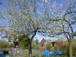 10 kwitnące jabłonie
